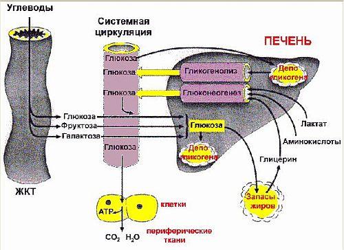 Загальна схема гомеостазу глюкози