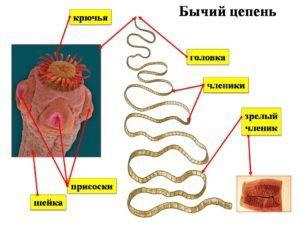 Бычий цепень - представитель плоских ленточных червей: длина и строение, среда обитания и размножения, диагностика и избавление от бычьего цепня
