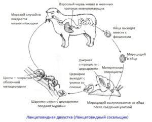Ланцетовидный сосальщик (двуустка): жизненный цикл и подробная схема развития, последовательность распространения