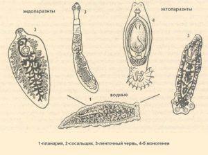 Виды паразитов в организме человека, какие опасные виды паразитов могут жить в организме